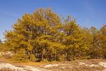 Pitch Pine, Pinus rigida