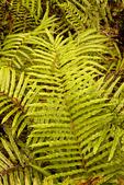Swamp Fern, Marsh Fern, Toothed Midsorus Fern, Dentate Midsorus Fern, Blechnum serrulatum