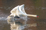 Mute Swan Taking Off to Fly, Cygnus olor