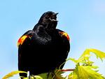 Male Red-winged Blackbird, Agelaius phoeniceus