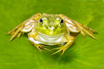 Bull Frog and American White Waterlily, Fragrant Water Lily, Beaver Root, Nymphaea odorata, Rana catesbeiana