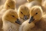 Canada Goose babies, Branta canadensis