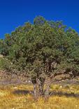 Alligator Juniper, Checkerbark Juniper, Juniperus deppeana