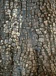 Alligator Juniper Bark, Checkerbark Juniper, Juniperus deppeana