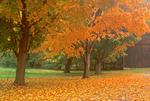Sugar Maple, Acer saccharum, Historic Deerfield, Deerfield, Massachusetts