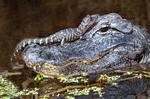 American Alligator Baby on Alligator Mother, Alligator mississippiensis