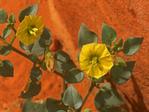 Yellow Nightshade Groundcherry, Physalis crassifolia