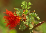 Baja Fairy Duster, Red Fairy Duster, Calliandra californica