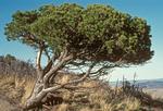 Pinon Pine, Colorado Pinyon, Two-needle Pinyon, Pinus edulis