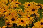 Gloriosa Daisy, Cultivar Tiger Eye Gold, Rudbeckia hirta