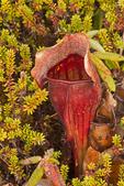 Purple Pitcher Plant, Purple Pitcherplant, Side-Saddle Flower, Sarracenia purpurea