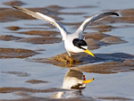 Reflection of Least Tern Spreading Wings, Sternula antillarum