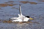Least Tern Splashing, Sternula antillarum