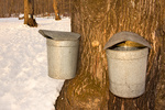 Maple Sugaring in New England in Winter