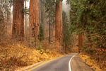 Park Road Through Giant Forest, Sequoia National Park, California