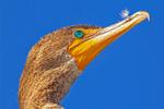 Double-Crested Cormorant Head and Beak, Phalaccrocorax auritus