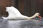 Mute Swan Sliding on Ice in Winter, Cygnus olor