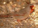 Male Pyrrhuloxia, Male Desert Cardinal, Cardinalis sinuatus