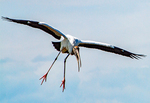 Wood Stork Flying, Mycteria americana