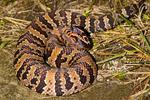 Pygmy Rattlesnake, Ground Rattlesnake, Pigmy Rattlesnake, Eastern Pigmy Rattlesnake, Sistrurus miliarius