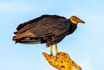 American Black Vulture, Coragyps atratus