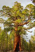 Grizzly Giant, Sequoiadendron giganteum, Mariposa Grove of Giant Sequoias, Yosemite National Park, California