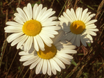 Oxeye Daisy, Ox-eye Daisy, common daisy, dog daisy, margarite, moon daisy, Leucanthemum vulgare, Chrysanthemum leucanthemum