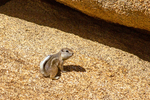 White-Tailed Antelope Squirrel, Ammospermophilus leucurus