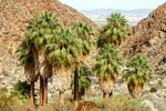 California Fan Palms, Washingtonia filifera, 49 Palms Trail, Joshua Tree National Park, Twentynine Palms, California,