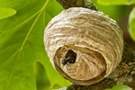 Bald-faced Hornet in Nest, Dolichiovespula maculate