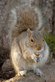 Eastern Grey Squirrel, Eastern Gray Squirrel, Sciurus carolinensis