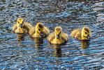 Group of Canada Goose Babies Swimming, Branta canadensis