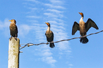 Three Double-Crested Cormorants on a Wire, Phalaccrocorax auritus