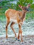 Elk Swimming, Wapiti, Cervus Canadensis