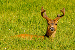Blacktail Deer in Grass, Odocoileus hemionus columbianus