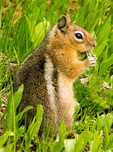 Golden-mantled Ground Squirrel, Callospermophilus lateralis