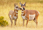 Mother and Baby Pronghorn Antelope Nuzzling, Antilocapra americana