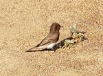 Uinta Ground Squirrel, Spermophilus armatus, Urocitellus armatus