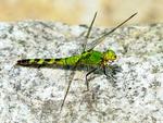 Twelve-spotted Skimmer, Libellula pulchella