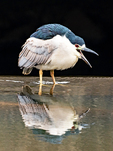 Black-crowned Night Heron With Beak Open, Nycticorax nycticorax