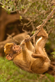 Baby Barbary Macaque Climbing on Branch of Tree, Common macaque, Macaca sylvanus, Tailless Monkey, Barbary Apes, Rock Apes