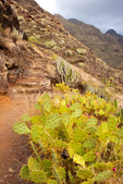 Trail to Chinamada, Prickly Pear Cactus, Anaga Mountains, Island of Tenerife, Canary Islands, Spain