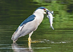 Black-crowned Night Heron with Fish in Mouth, Nycticorax nycticorax