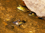 Green Frogs, Rana clamitans