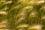 Grasses Blowing in the Wind, Agate Fossil Beds National Monument, Harrison, Nebraska