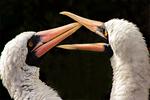 Pale-bellied Brant Goose Flying, Brent Goose, Branta bernicla hrota