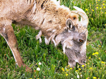 Rocky Mountain Bighorn Sheep Eating Flowers, Ovis Canadensis