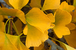 Ginkgo biloba Leaves, Maidenhair Tree