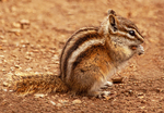 Least chipmunk, Tamias minimus, Neotamias minimus