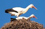European White Stork on Nest, Ciconia ciconia